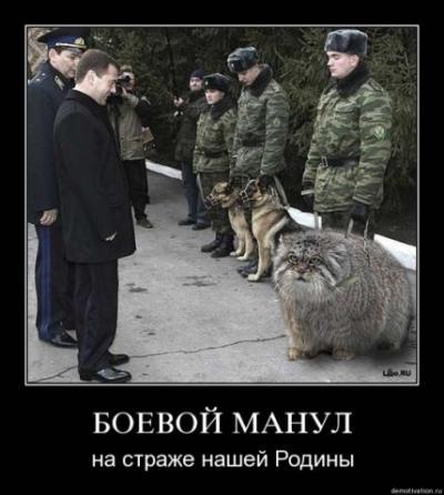 http://kavicom.ru/uploads/sub/04d6e570_kot-manul.jpg